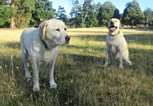 Labradors on our walk