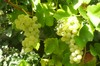 Grapes_of_gosh