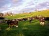 Munching_cows