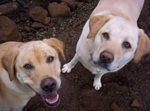 The_labradors_smiling