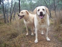 Labradors_in_the_drizzle
