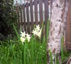 Bulbs_the_dills_are_out_in_winter