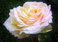 Tori_the_labradors_peace_rose